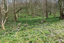 Wild garlic as far as the eye can see