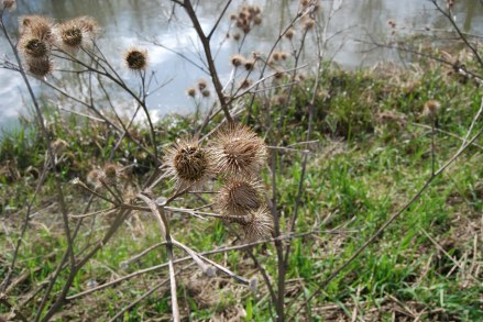 Thistle heads on a riverside walk
