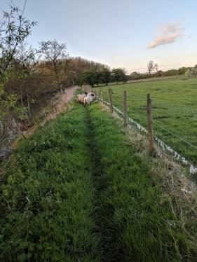Escaped sheep