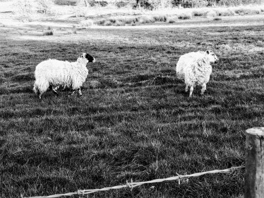 Moody sheep!